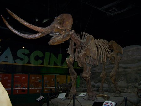 The DeVille Mastodon was unearthed in Stark County in 1970. This mastodon, a young female, lived 12,000 to 40,000 years ago. She is the centerpiece of Natural History Island in Discover World.